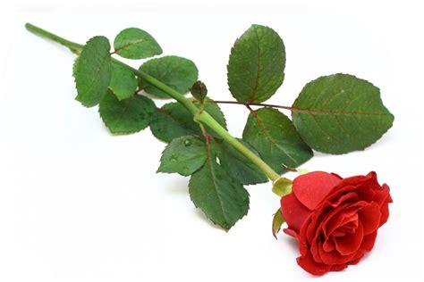 la rossa la rosa poesia di luciano nota la presenza di 200 rato