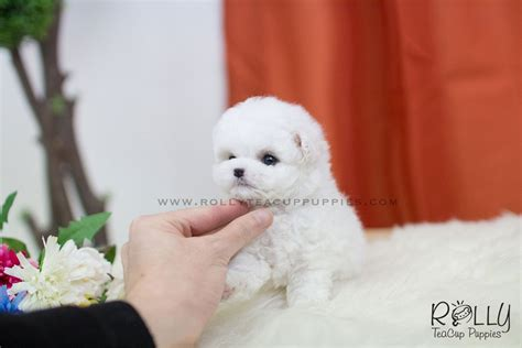 teacup puppies near me sold to williams fluffy bichon frise f rolly teacup puppies