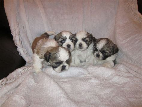 shih tzu for sale in kent shih tzu puppies for sale in bromley kent bromley kent pets4homes