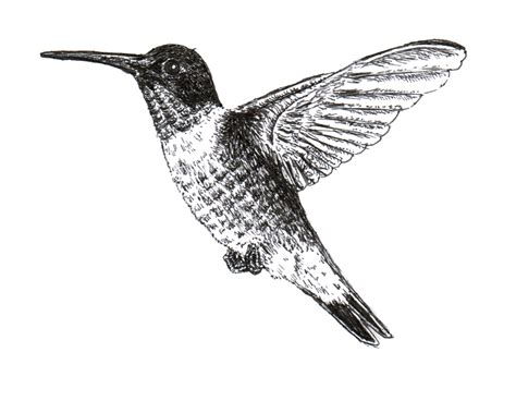 bevalet s hummingbirds and flowers a vintage grayscale coloring book vintage grayscale coloring books volume 3 books chuck does ruby throated hummingbird ink drawing