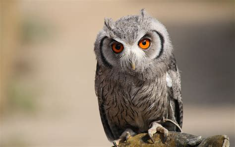 owl wallpaper for macbook owl wallpapers pictures hd wallpapers