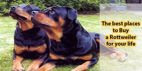 buy a rottweiler the best places to buy a rottweiler for your