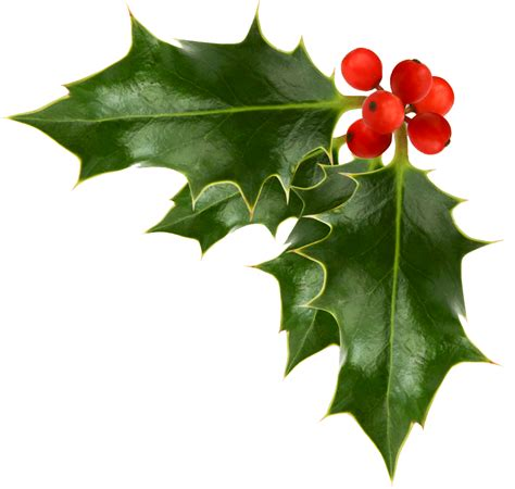 printable christmas holly best christmas holly clip art 22892 clipartion com