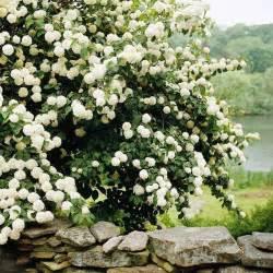 best flowering shrubs for hedges snowball viburnum