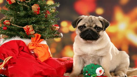 christmas wallpaper with puppies christmas puppy free download christmas dog hd