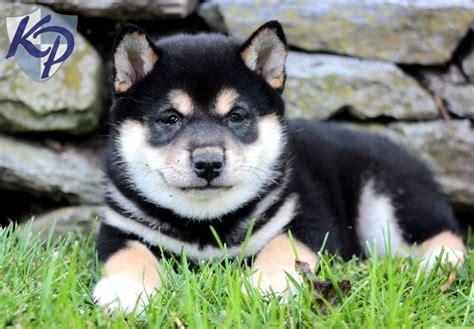 shiba inu puppies for sale in pa princess shiba inu puppies for sale in pa keystone puppies shiba inu puppies