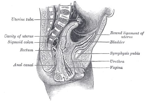 sagittal section of the female pelvis 1