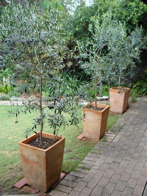 Small Trees For Planters by Olivier En Pot Pour La Terrasse Ou Le Balcon Conseils Et