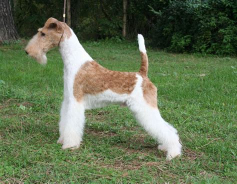 fox terrier wire fox terrier pictures information temperament characteristics rescue