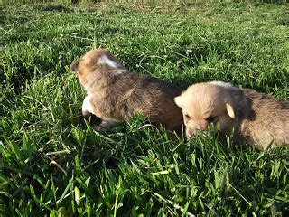 corgi puppies for sale ohio akc pembroke corgi puppies for sale ohio breeds picture
