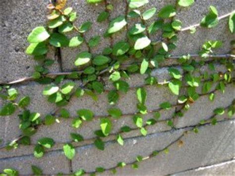 fast growing climbing plants creeping fig ficus pumila fast growing climbing fern tree