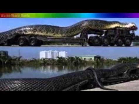 film ular di kalimantan video keajaiban ular terbesar di dunia ternyata ada di