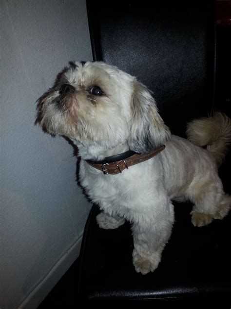 2 year shih tzu 2 year shih tzu boy for sale doncaster south pets4homes
