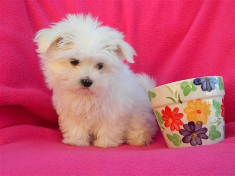 maltese puppies pin teacup maltese for sale puppies tiny micro on