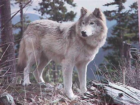 Silver Wolf silverwolf s wolf pics