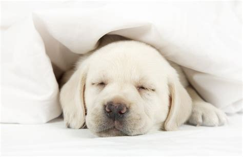 puppy sleeping in bed letting your puppy sleep in your bed here s how to do it safely