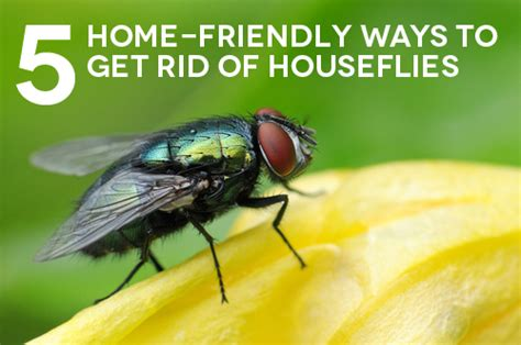 best way to get rid of flies in backyard 5 home friendly ways to get rid of houseflies the maids blog