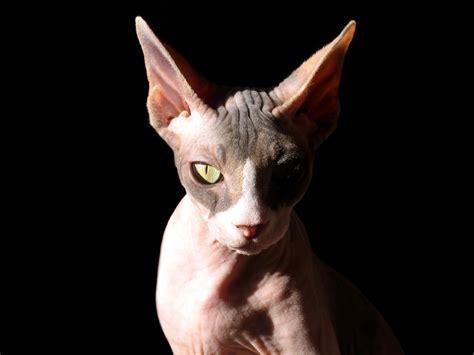 file sphynx cat lit from one side jpg wikimedia commons