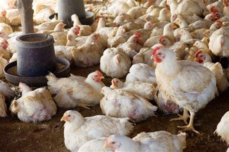 raising chickens  meat  egg breeding chickens