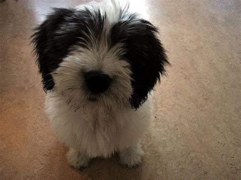 lowland sheepdog puppies hypoallergenic dogs list the best breeds for with allergies or asthma