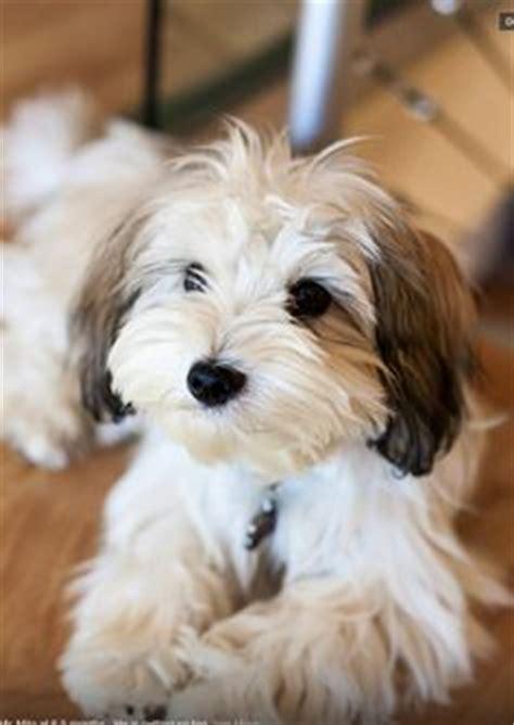 what does a havanese look like the joyful havanese on havanese puppies havanese dogs a