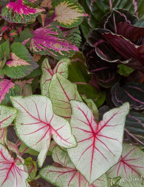 pink foliage plants houseplants