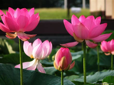 lotus flower free wallpapers lotus flower wallpaper wallpaper lotus