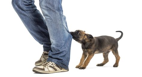 how to correct puppy biting stop puppy biting all about bichon frise dogs