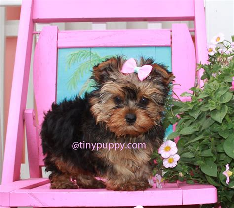 buy tiny teacup yorkie teacup yorkie susie q tinypuppy