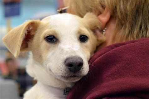 fort wayne spca dogs allen county spca hits adoption milestone wowo 1190 am 107 5 fm