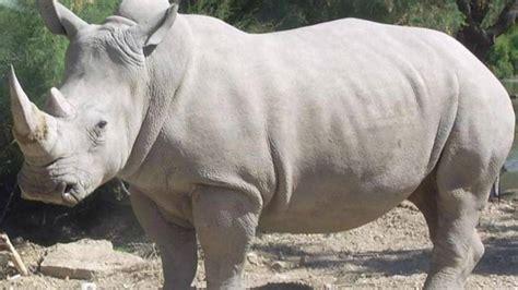 imagenes rinoceronte blanco muere rinoceronte blanco en zool 243 gico peri 243 dico hoy