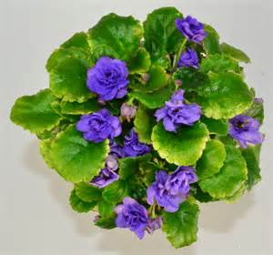 african violet moonlight kisses semi miniature african violet plant