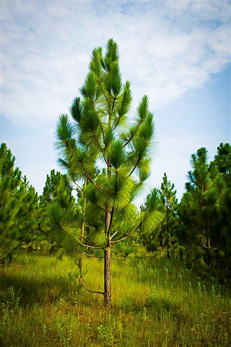 longleaf pine trees  sale   tree center