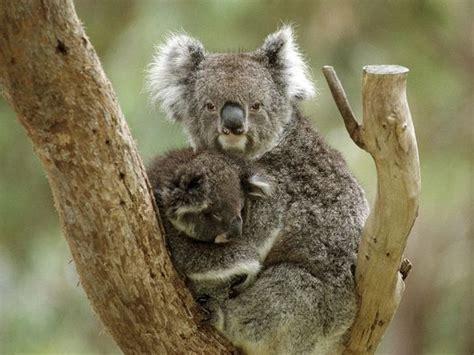 Metto Koala 10 haiwan yang paling lambat bergerak unikversiti