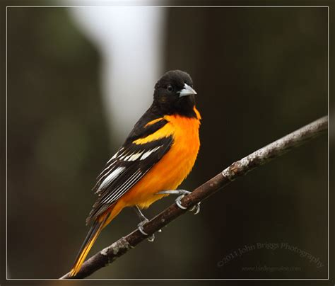 baltimore oriole birding in maine