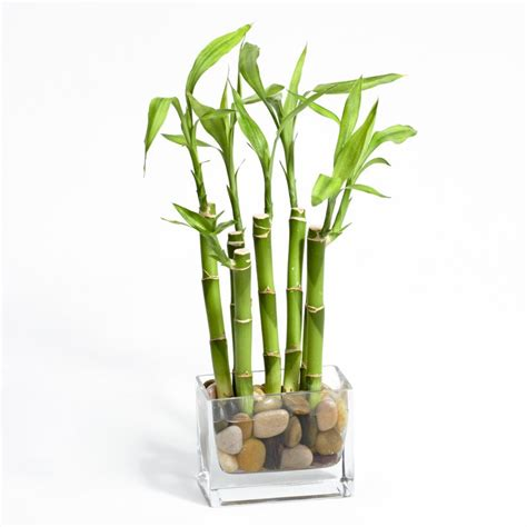 river rock lucky bamboo indoor office plants by