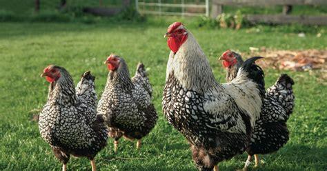 Hühnerhaltung Im Garten h 252 hnerhaltung im garten mein sch 246 ner garten
