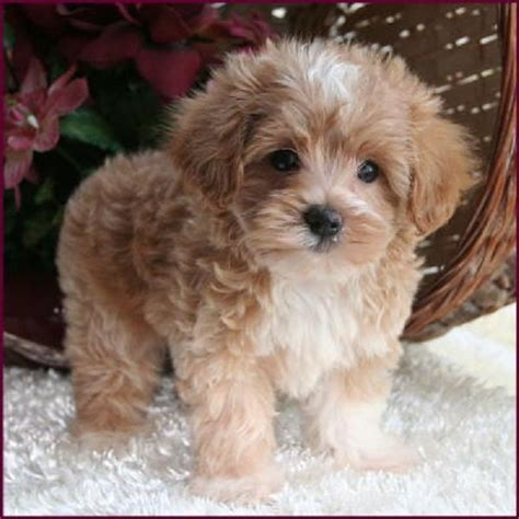 maltipoo puppies 25 best ideas about teacup puppies on teacup dogs cutest small dogs and