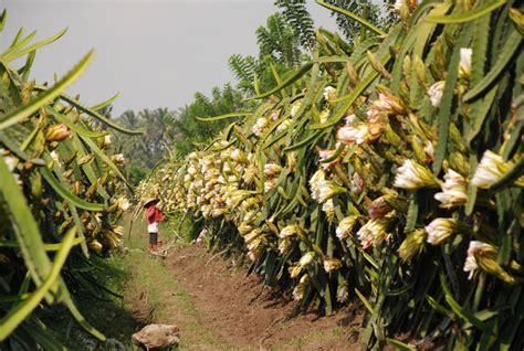 Jual Bibit Buah Naga Di Yogyakarta bunga buah naga red2 187 buah naga hybrid lemon california lemon amerika jeruk