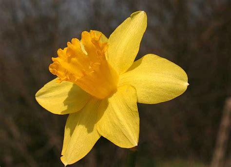 fiore narciso foto narcissus pseudonarcissus narciso giallo o
