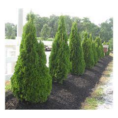 fast growing maple trees thuja gardens 10 best ideas about thuja on pinterest hedges spreads