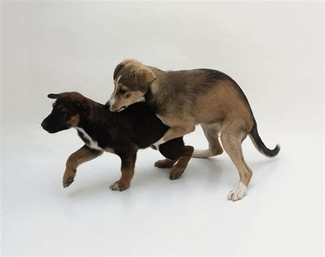why do dogs hump learn how to behavior in dogs