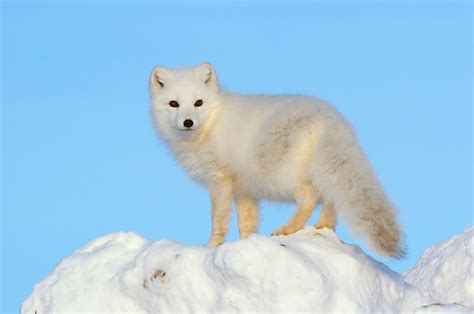 1000 Images About Arctic Animals On Arctic - 1000 images about arctic fox