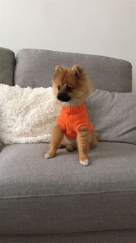 pomeranian 5 months 5 month pomeranian for sale chesterfield derbyshire pets4homes