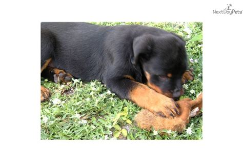 rottweiler pups for sale with docked tails rottweiler puppy for sale near fort lauderdale florida b178346a 7351