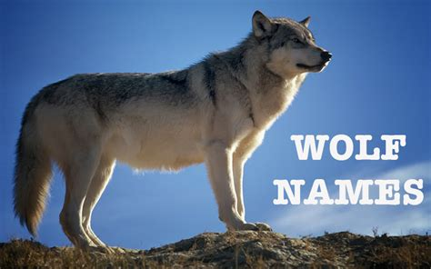 wolf names names great ideas for naming your puppy the happy puppy site