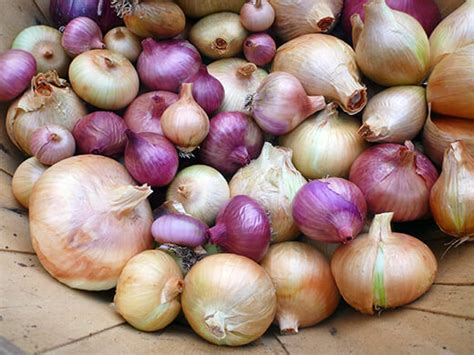 Shelf Of Onions by How To Harvest And Cure Your Crop Garden Betty