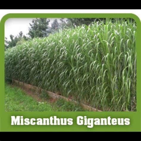 miscanthus giganteus 14 ornamental grass plant fast