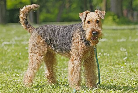 Types Of Dogs With Curly Hair by The Gallery For Gt Curly Haired Breeds