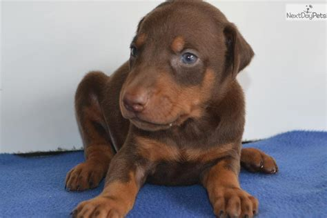 doberman puppies for sale in indiana doberman pinscher puppy for sale near fort wayne indiana 23311de2 1c61